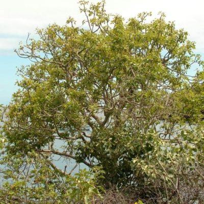 Пало санто дерево – это  Bursera Graveolens, Bulnesia Sarmientoi или Guayacan?